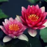 【高解像度】赤い睡蓮(スイレン)(3パターン)