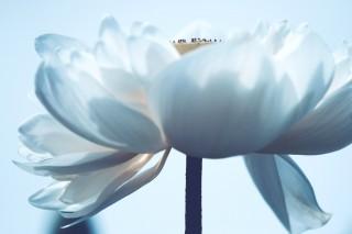 【高解像度】白い蓮(ハス)(3パターン)