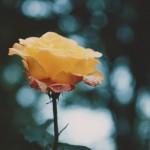 【高解像度】黄色い薔薇(バラ)(2パターン)