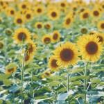 【高解像度】満開のひまわり畑(3パターン)