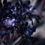 【高解像度】花のような黒法師(クロホウシ)(3パターン)