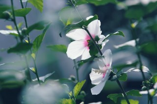 【高解像度】白い槿の後ろ姿(ムクゲ)(3パターン)