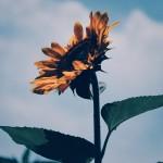 【高解像度】空に向かって咲く向日葵(ヒマワリ)(3パターン)