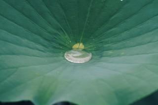 【高解像度】蓮の葉の中の水溜り(ハス)(3パターン)