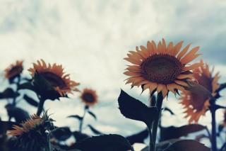 【高解像度】空と向日葵(ヒマワリ)(3パターン)