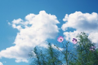 【高解像度】コスモスと晴れた空(3パターン)