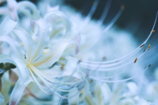 【高解像度】伸びやかな白い彼岸花(3パターン)