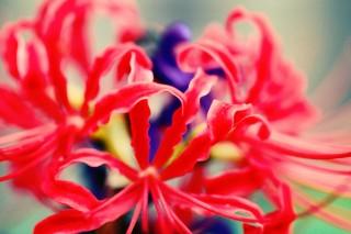 【高解像度】紫のサルビアを包み込む彼岸花(3パターン)