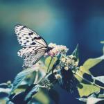 【高解像度】花に留まるオオゴマダラ(3パターン)