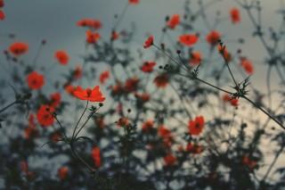 【高解像度】薄暗闇に咲くキバナコスモス(3パターン)