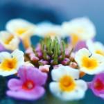 【高解像度】白とピンクのランタナ(3パターン)