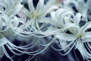 【高解像度】絡み合う白い彼岸花(3パターン)