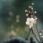 【高解像度】白梅の花と蕾