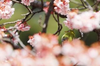 【高解像度】寒桜とメジロ