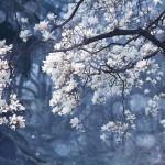 【高解像度】青い森と白木蓮(ハクモクレン)