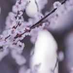 【高解像度】満開の白梅