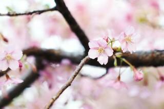 【高解像度】薄紅色の桜(サクラ)(3パターン)