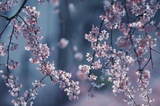 【高解像度】揺れる枝垂れ桜(シダレザクラ)(3パターン)