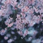 【高解像度】薄暗闇に咲く枝垂れ桜(シダレザクラ)(3パターン)