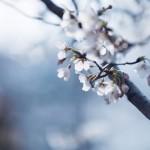 【高解像度】細い枝に咲く桜(サクラ)(3パターン)