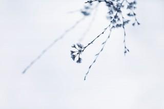 【高解像度】流れるような枝垂れ桜(シダレザクラ)(3パターン)