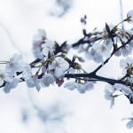 【高解像度】薄曇りの日の桜(サクラ)(3パターン)