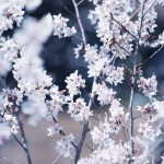 【高解像度】満開の啓翁桜(ケイオウザクラ)(3パターン)