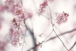 【高解像度】滲むような枝垂れ桜(シダレザクラ)(3パターン)