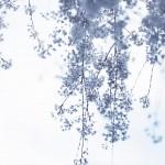 【高解像度】カーテンのような枝垂れ桜(シダレザクラ)(3パターン)