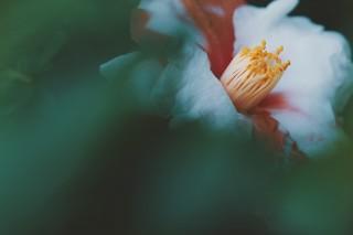【高解像度】草叢の絞り椿(ツバキ)(3パターン)