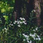 【高解像度】樹の根元に咲くオオアマナ(3パターン)