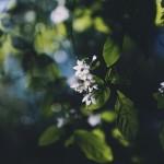 【高解像度】発光するような秤錘木の花(ヒョウスイボク)(3パターン)