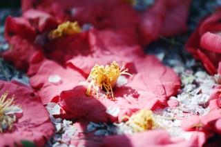 【高解像度】桜の花弁と落ち椿(ツバキ)(3パターン)