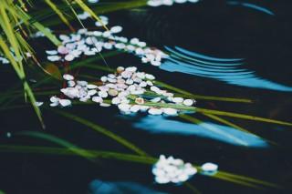 【高解像度】水面に揺らぐ桜(サクラ)(3パターン)