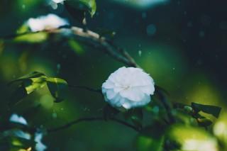 【高解像度】深い緑と白い椿(ツバキ)(3パターン)