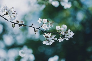 【高解像度】深い緑と桜(サクラ)(3パターン)