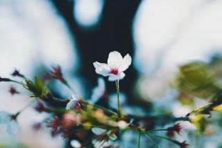 【高解像度】凛と咲く桜(サクラ)(3パターン)