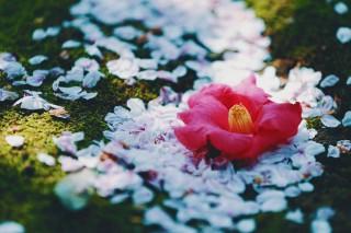【高解像度】桜の上の落ち椿(サクラ/ツバキ)(3パターン)