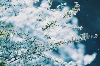 【高解像度】吹雪く雪柳(ユキヤナギ)(3パターン)