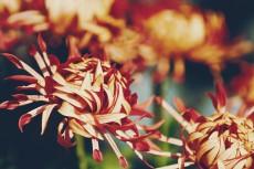 flower975-2