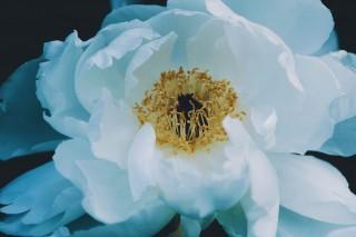 【高解像度】大輪の白い牡丹(ボタン)(3パターン)