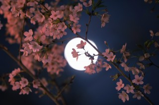 【高解像度】満月と夜桜(サクラ)(3パターン)