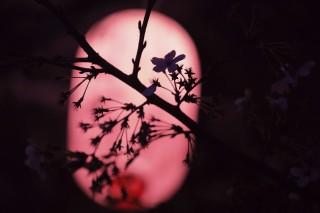 【高解像度】夜桜のシルエット(サクラ)(3パターン)