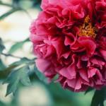 【高解像度】大輪の赤い牡丹(ボタン)(3パターン)