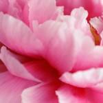 【高解像度】ピンク色の牡丹の花弁(ボタン)(3パターン)