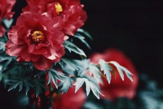 【高解像度】赤い牡丹(ボタン)(3パターン)