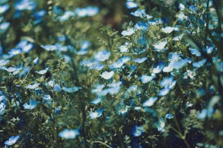【高解像度】青いネモフィラの花畑(3パターン)