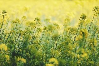 【高解像度】風にそよぐ菜の花(ナノハナ)(3パターン)