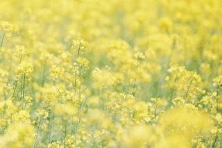 【高解像度】明るい菜の花畑(ナノハナ)(3パターン)