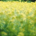 【高解像度】一面の菜の花(ナノハナ)(3パターン)